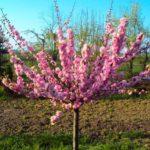 Prunus triloba Mandloň trojlaločná