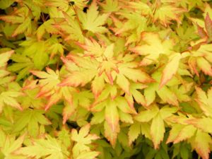 javor dlanitolistý acer palmatum orange dream