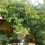 Kiwi - báječně se hodí i na pergolu