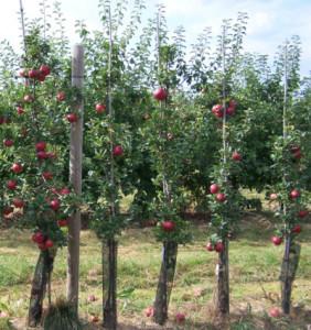 Sloupovité jabloně