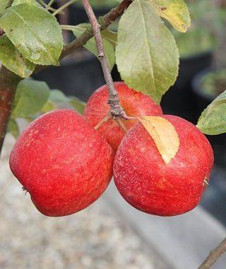 Zakrslá jabloň